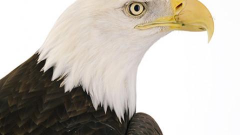 Eagles and Osprey Virtual Talk